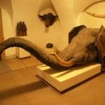 glowa-slonia