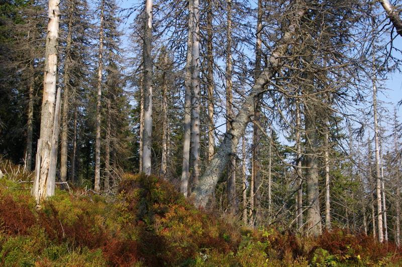 Był las na Romance, a pozostały kikuty drzew