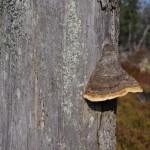 huba-na-drzewie