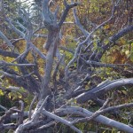 obumarle-drzewo