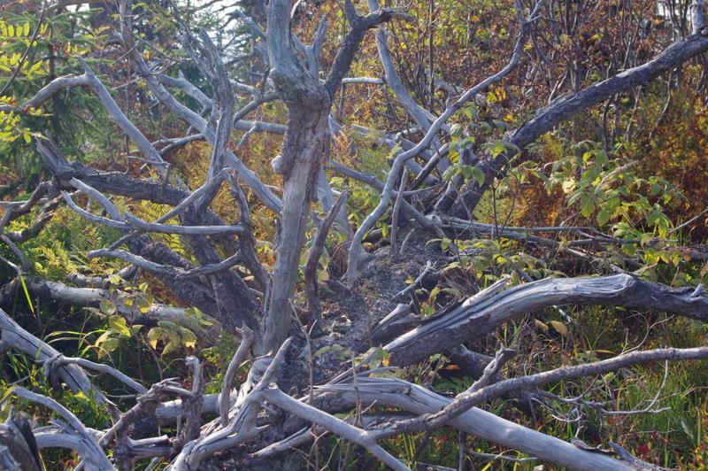 obumarłe drzewo