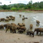 kapiel-sloni-Pinnawela