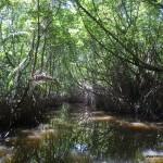 lasy-mangrowe