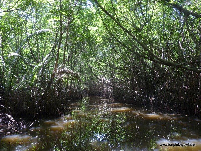 lasy mangrowe, Sri Lanka, Bentota, Beruwala