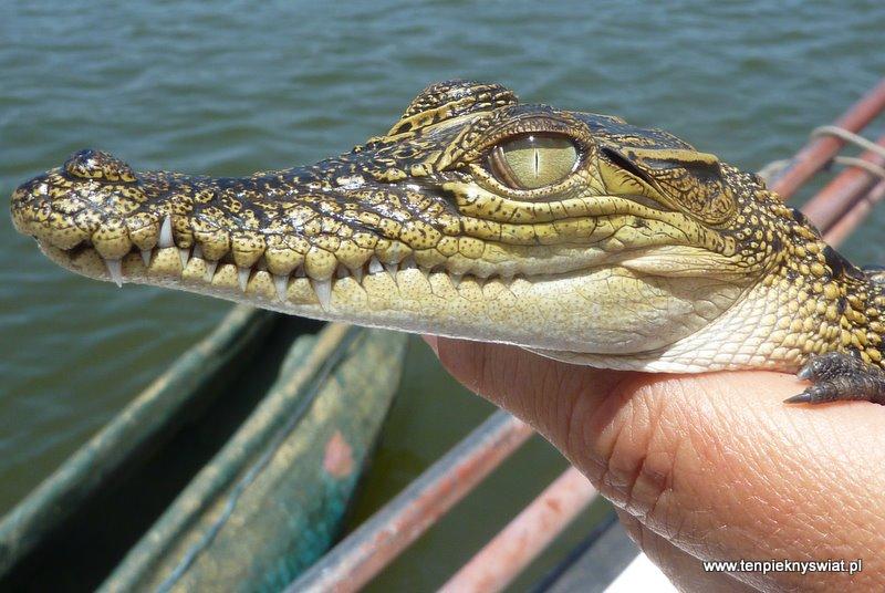 Mały  krokodylek