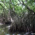 mangrowce