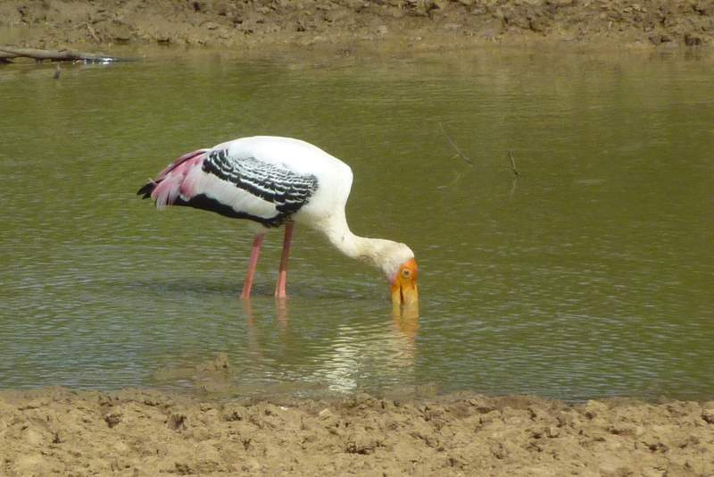 dałwigad indyjski, painted stork, Sri Lanka