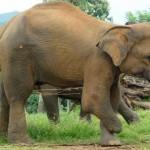 slon-bez-nogi