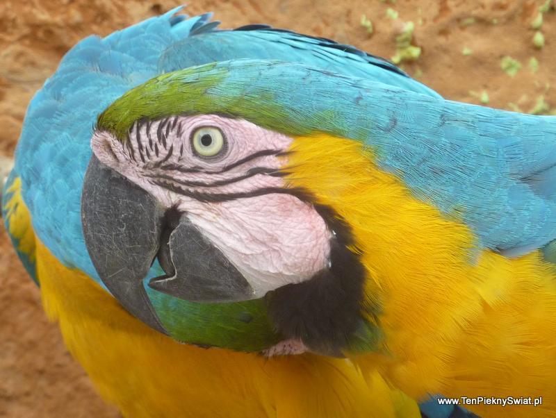 ara parrot papuga ara