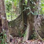 drzewo-balsa