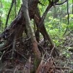 dzungla-drzewa
