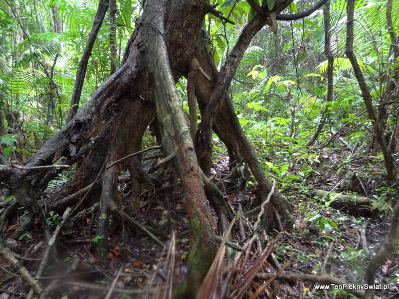 dżungla drzewa