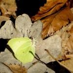 Listkowiec-cytrynek