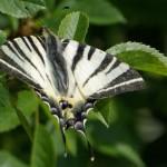 Motyl-Paz-zeglarz