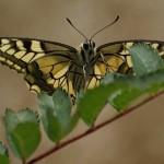 motyl-paz-krolowej