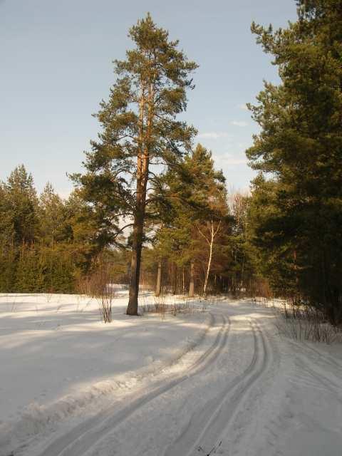 Nowy Targ, narty biegowe, trasa przez bór sosnowy