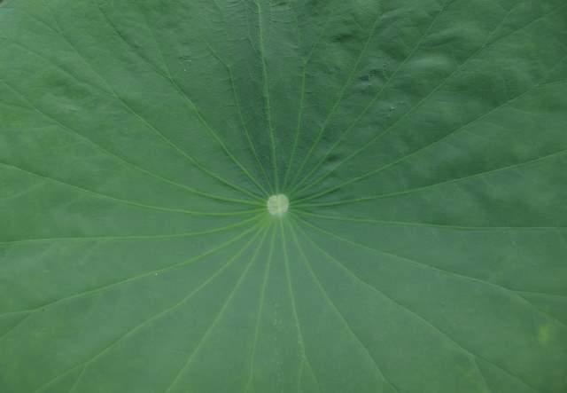 Liść kwiatu lotosu