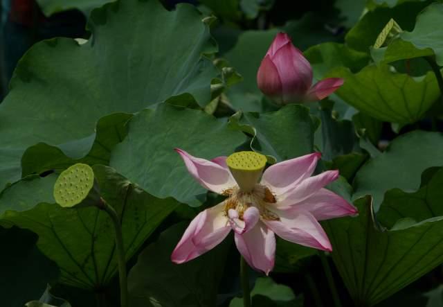 Kwiat lotosu, owoc lotosu