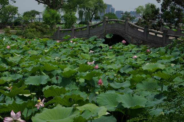 kwiaty lotosu , uprawa w ogrodzie
