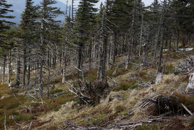 Umierające lasy w drodze na Czervonohorskie Sedlo