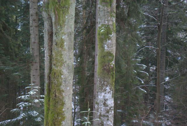 Gorce, Dolina Kamienicy, starodrzew