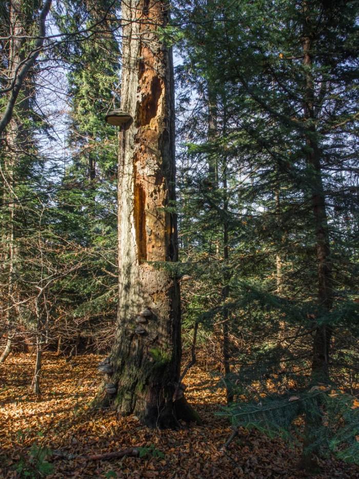 Martwe drzewo w Gorcach
