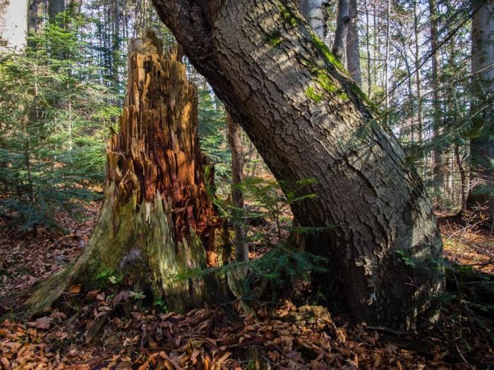 pień starego drzewa w rezerwacie Orkana Gorce