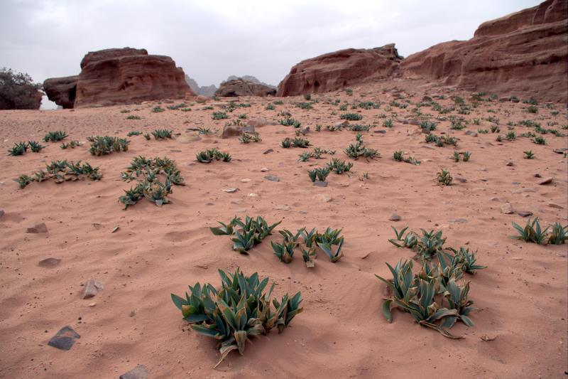 Petra, przyroda  Jordanii pustynie