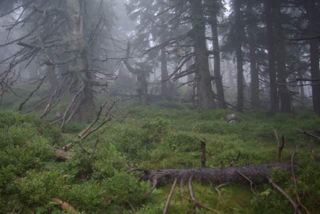 Bór górnoreglowy, Karkonosze