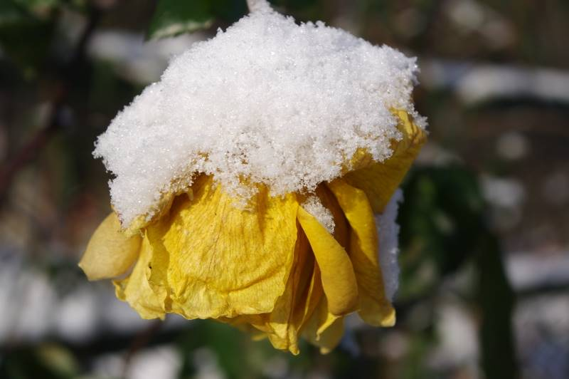 Kwitnąca róża zimą