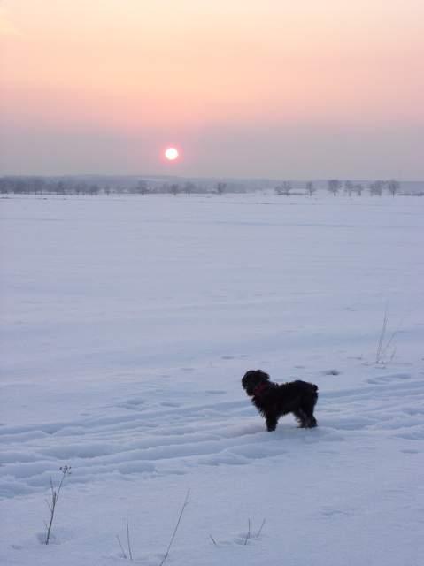 sznaucer miniaturka, pies na narty śladowe