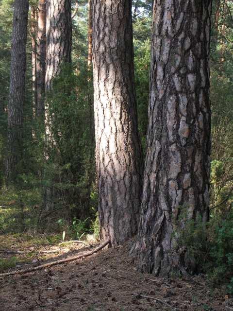 Rezerwat Mingus, Bór sosnowy