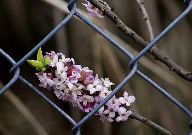 Wawrzynek wilczełyko zdjęcie w ogródku