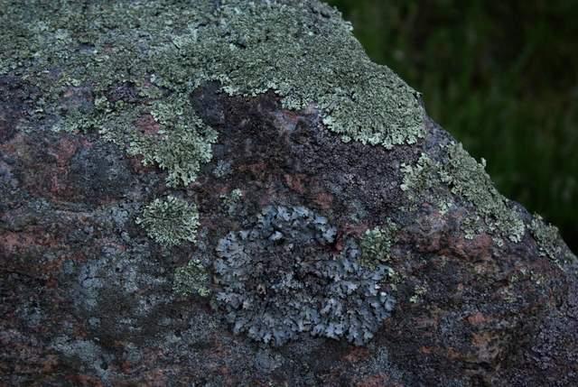 Porosty Kręgi kamienne w Odrach