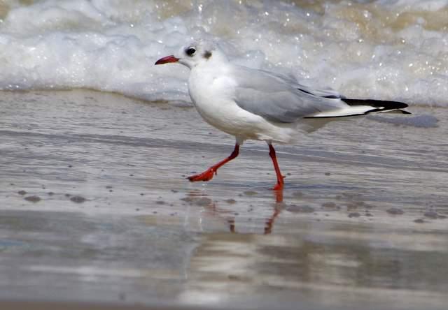 Mewa śmieszka, spacer po plaży