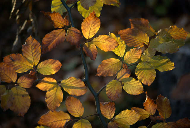 żółto-brązowe jesienne liście buka