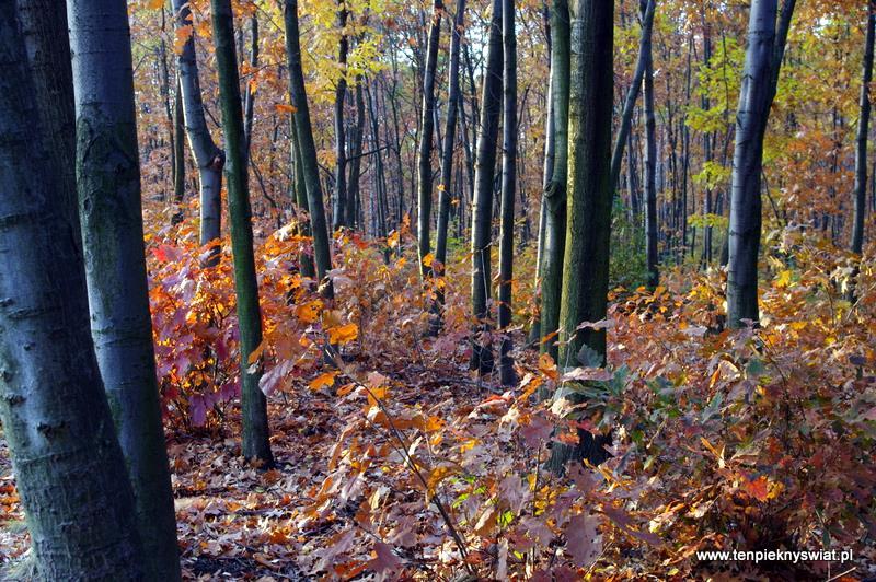 dęby czerwone mój las Łabędzki Gliwice