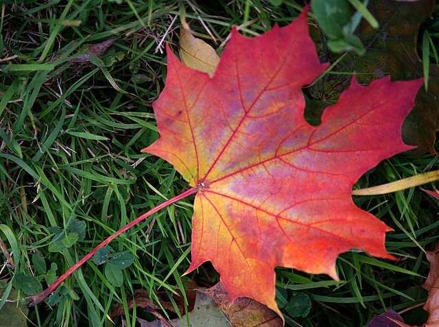 czerwony jesienny liść klonu