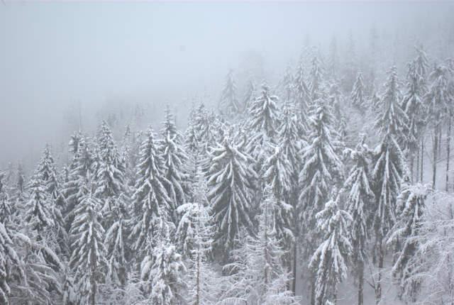 Przysypane śniegiem świerki