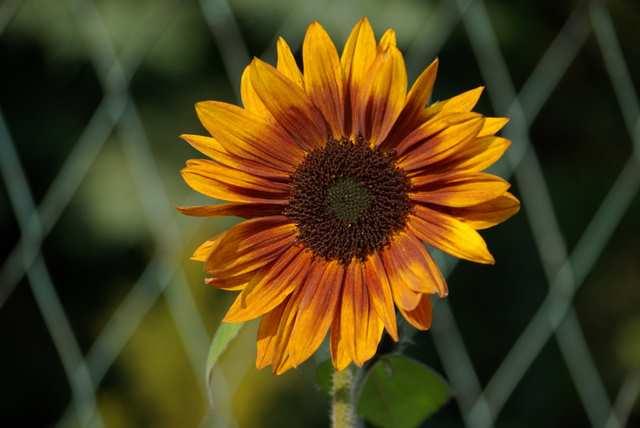 Słonecznik, kwiat