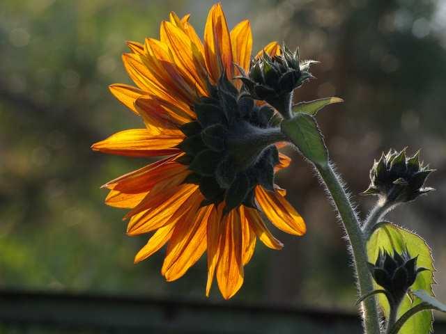 Słonecznik i małe słoneczniki