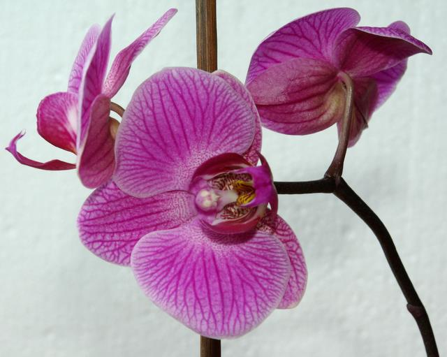 storczyk-Phalaenopsis-Tropical-Fantasy