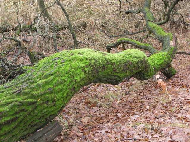 Omszony pień drzewa
