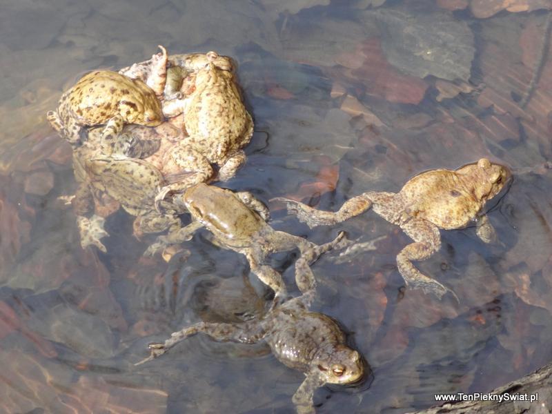 żabie gody, rozmnażanie płazów