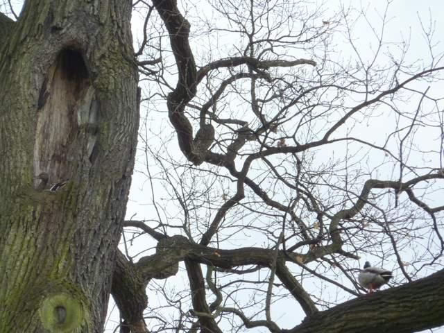 Kaczki mieszkające na drzewie