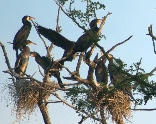 Gliwice, kolonia kormoranów