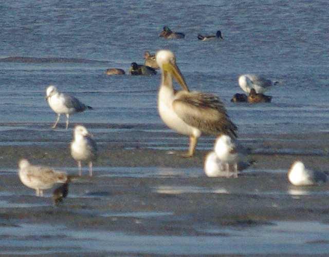 pelikan różowy, wielikąt