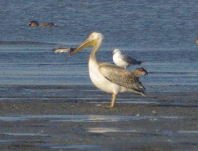 Pelikan różowny