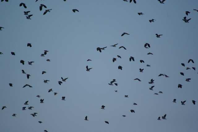 Wielikąt, ptaki poderwały się w powietrze