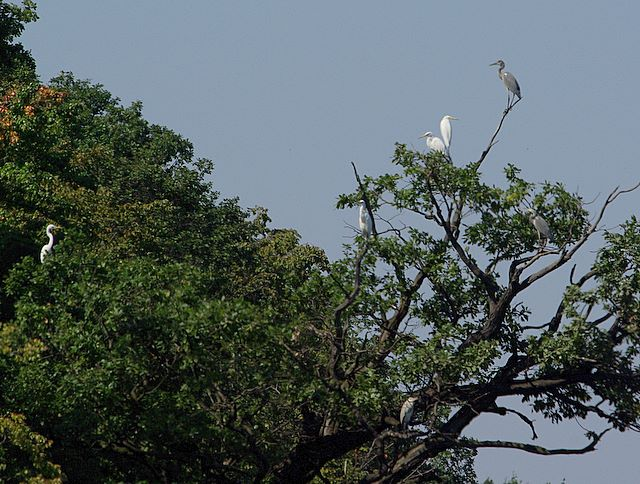 Wielikąt - czapla biała i czapla siwa na drzewie